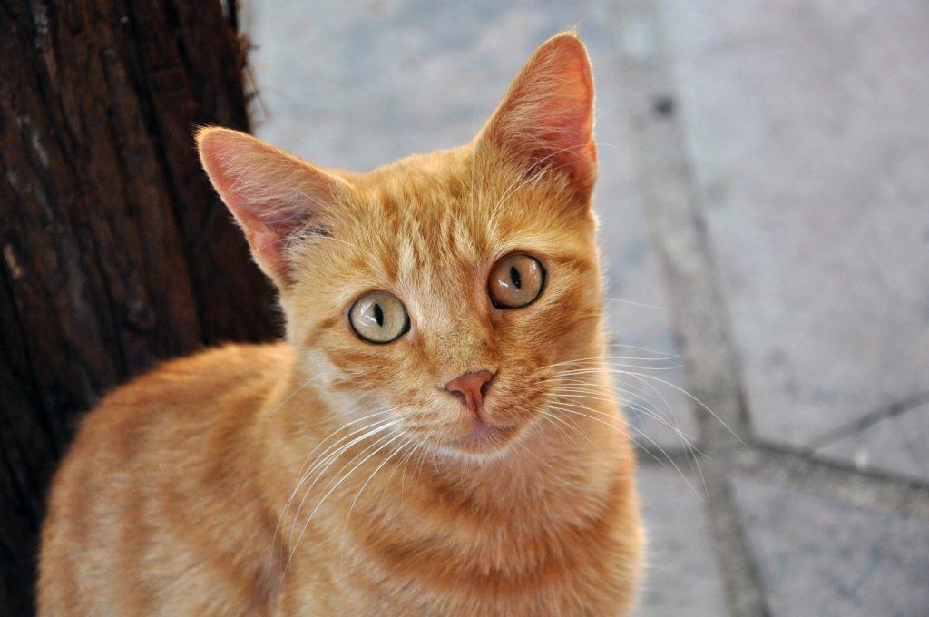 Tratamiento de la bronquitis en gatos