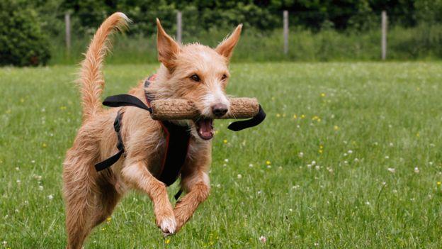 Tratamiento de la bronquitis en perros