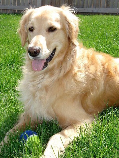 Tratamiento de la cardiomiopatía dilatada canina