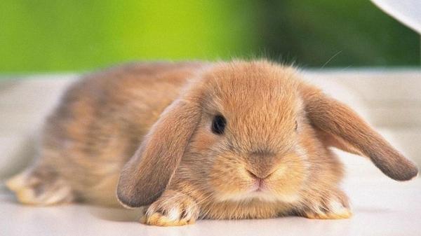 Tratamiento de la hemorragia vírica en conejos