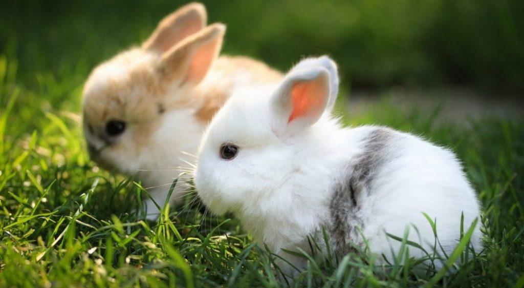 Tratamiento de la mixomatosis en conejos