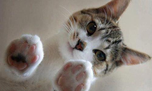 Tratamiento de los cristales de estruvita en gatos