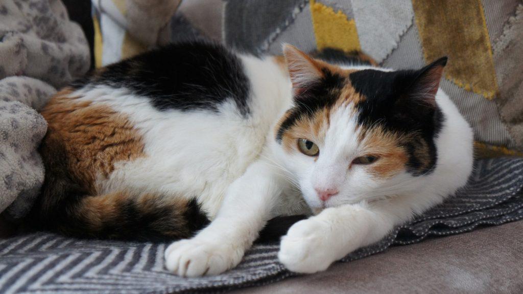 evitar los cálculos renales en gatos