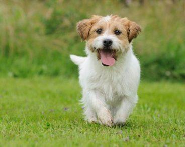 tratamiento de la otitis canina