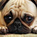 Adenovirus canino tipo 2
