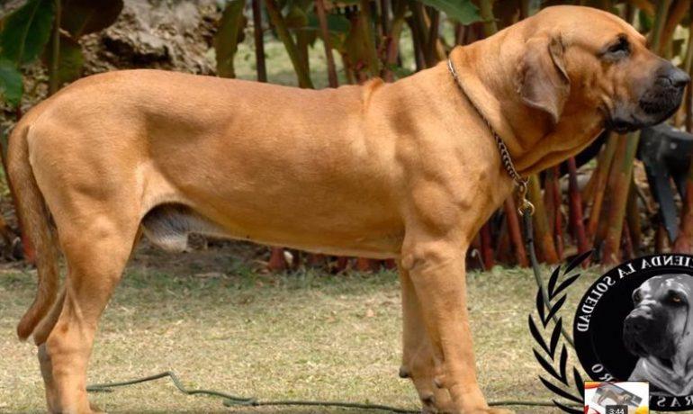 Así es el comportamiento del perro fila brasileño
