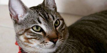 Así es el tratamiento de la dermatitis en gatos