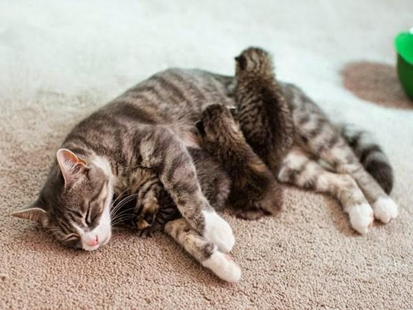 Cómo ayudar a una gata a parir