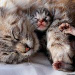 Cómo ayudar a una gata a parir en casa
