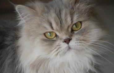 Cómo bañar a un gato persa paso a paso