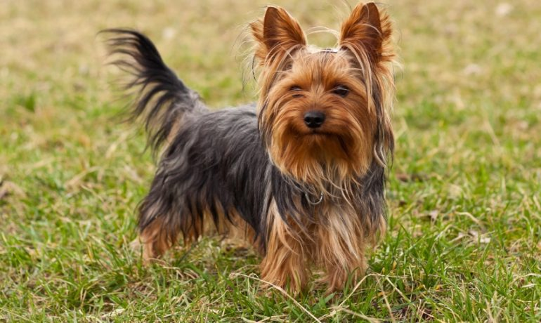 Yorkshire terrier con pelo corto