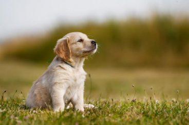 Cómo curar la laringitis en perros