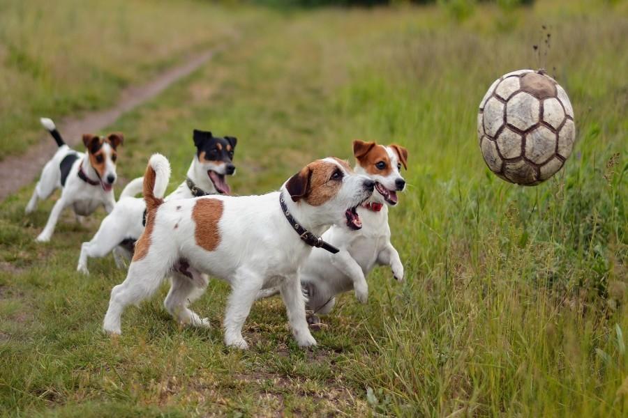 Cómo entrenar a mi perro a traer la pelota