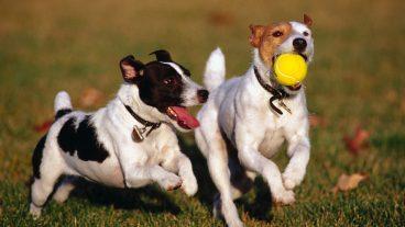 Cómo entrenar a mi perro para traer la pelota