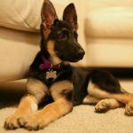 Cómo entrenar a un cachorro de pastor alemán