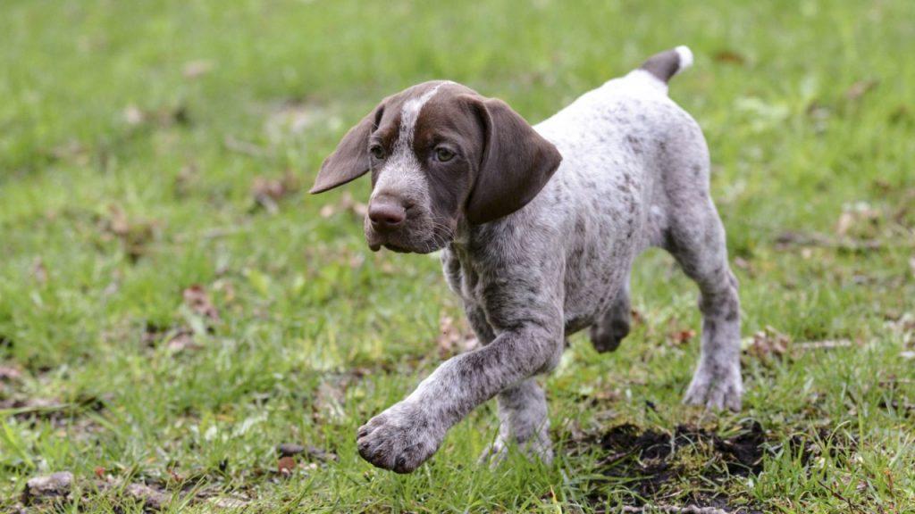 Cómo es el perro braco alemán en casa