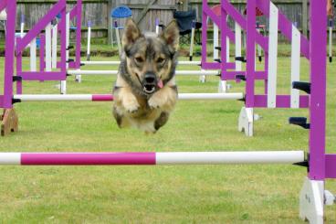 Cómo es un circuito de agility canino