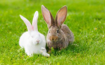 Cómo reconocer los hongos en conejos