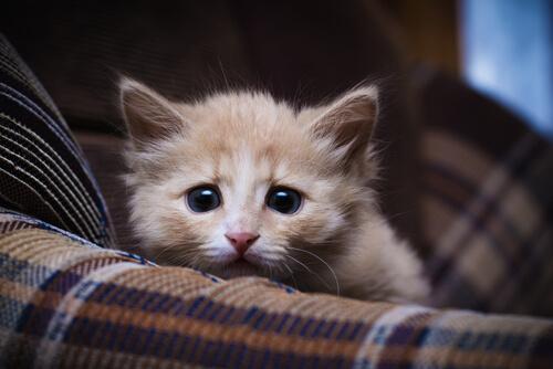 Cómo se contagia la giardia en gatos