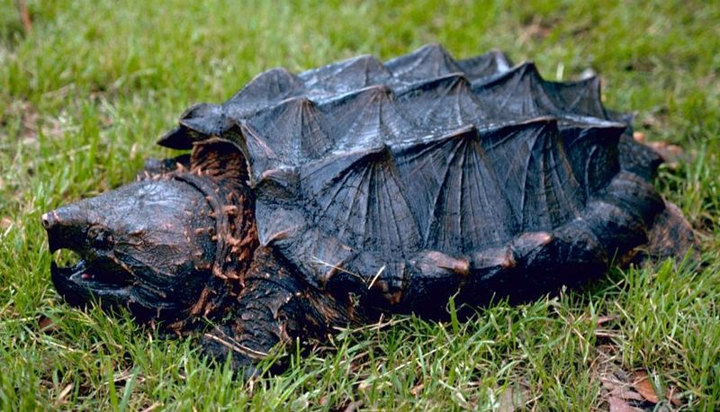Características de las tortugas Testudines