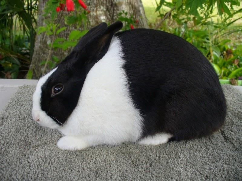 Características del conejo dutch