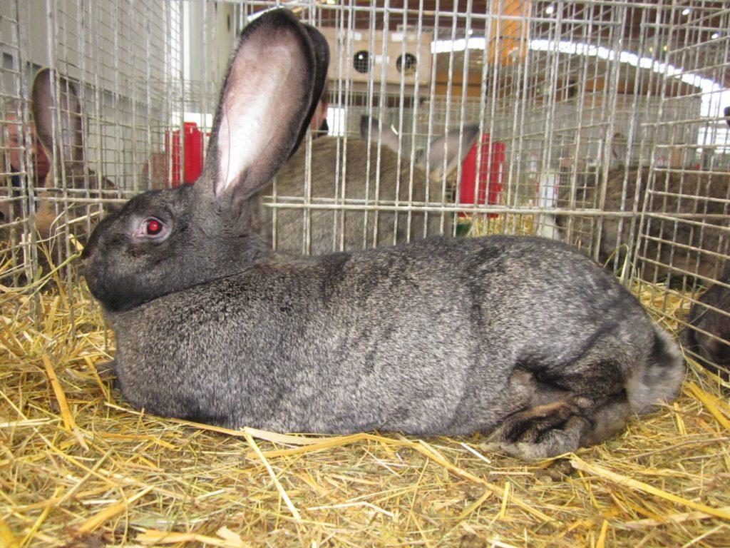Características del conejo gigante alemán