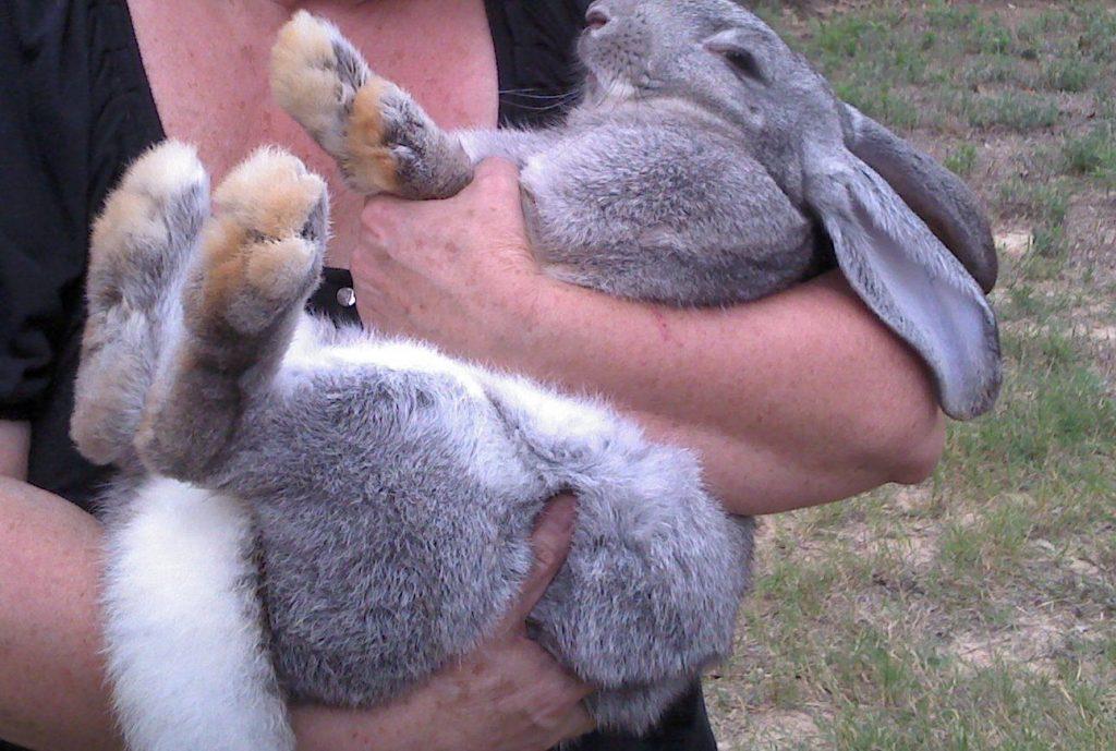 Características del Conejo GIGANTE de Flandes, ¡no te lo pierdas!