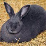 Características del conejo gigante de Flandes