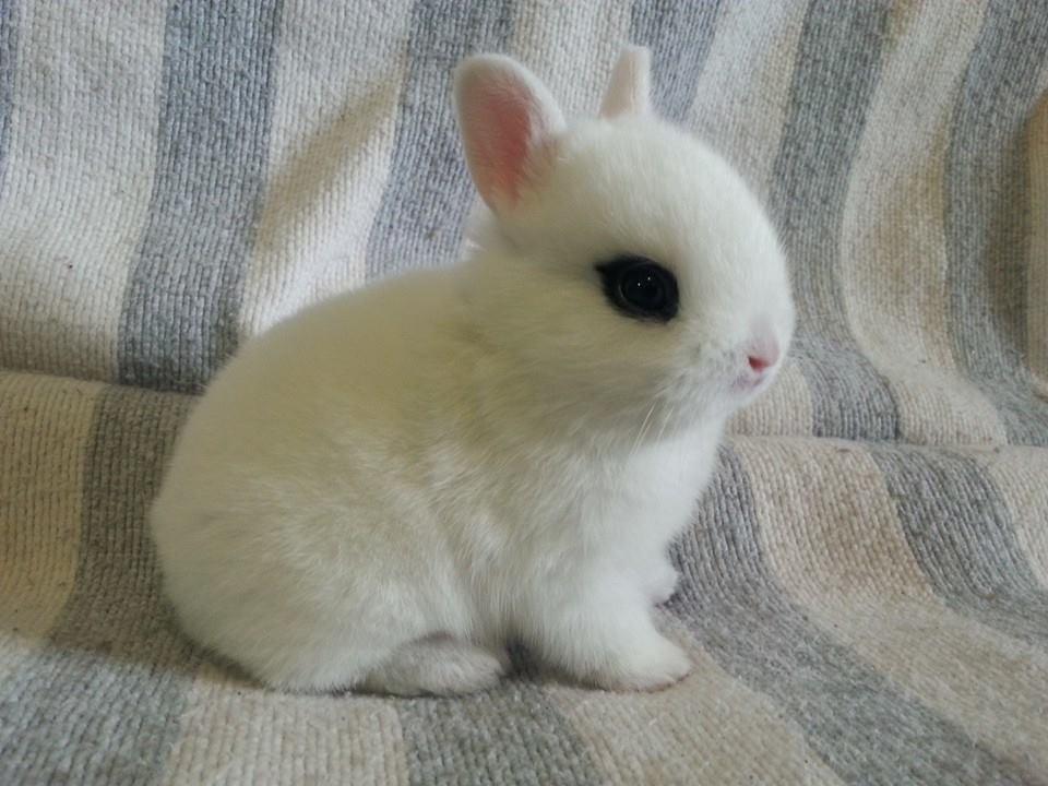 Características del conejo hotot
