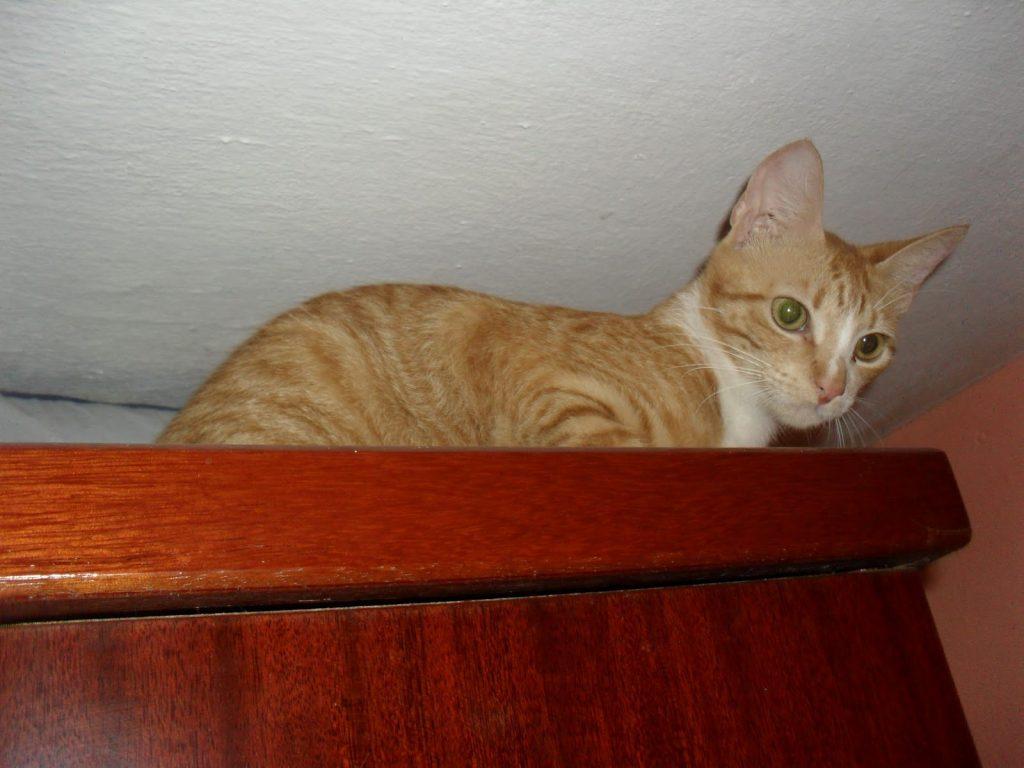 Características del gato brasileño de pelo corto