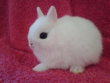 Características y cuidados del conejo hotot