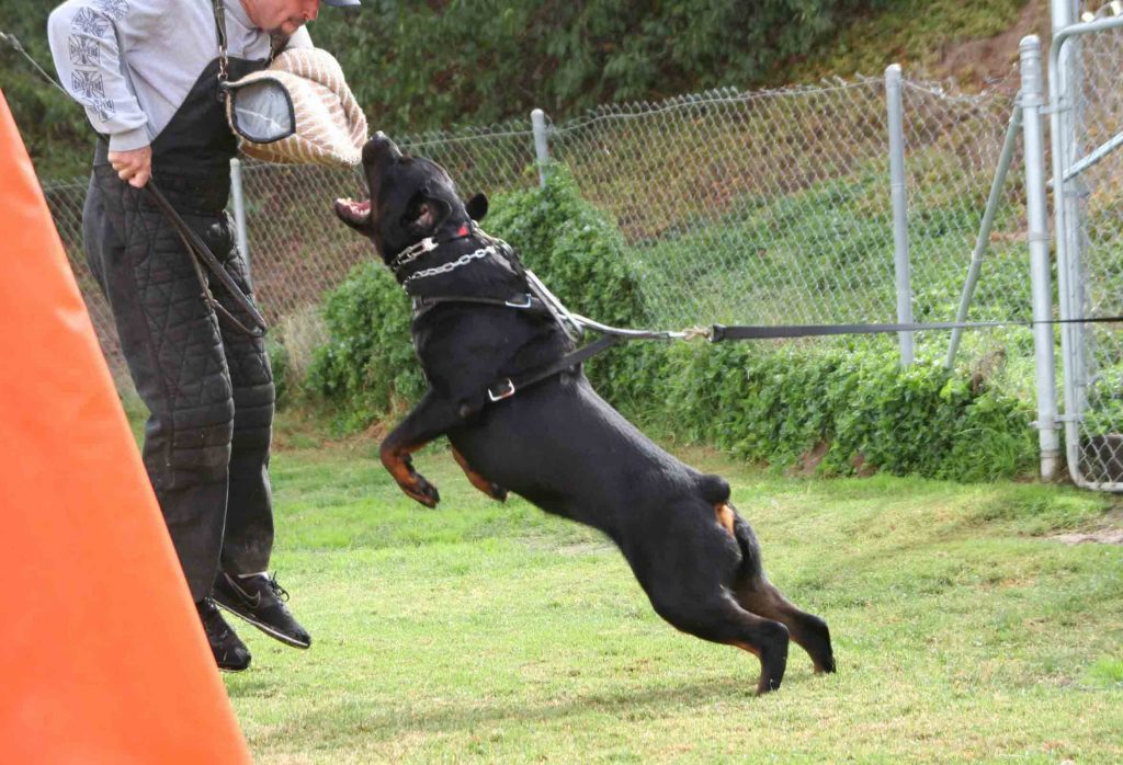 Consejos para practicar el entrenamiento schutzhund