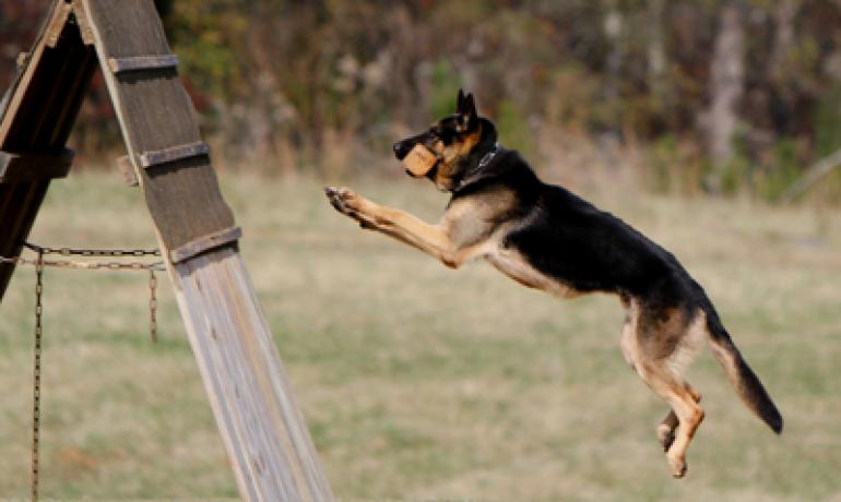Consejos para realizar el entrenamiento Schutzhund
