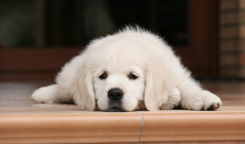 Consideraciones sobre esta receta casera de leche para cachorros