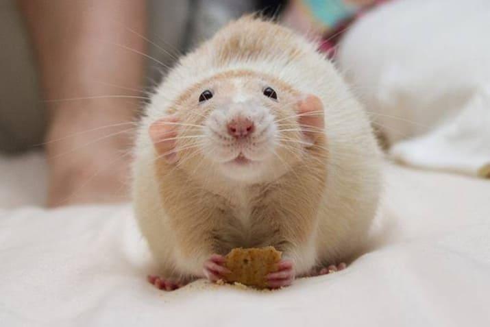 Cuidados de la rata dumbo como mascota