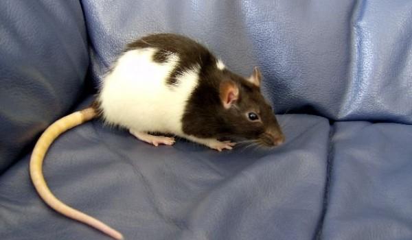 Cuidados de las ratas domésticas