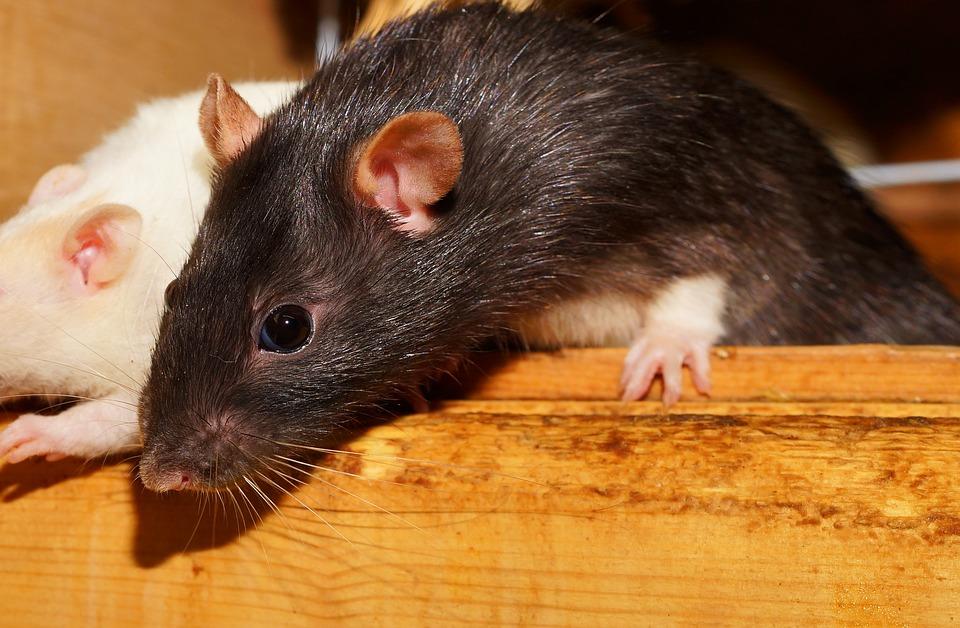 Cuidados de una rata rex