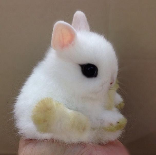 Cuidados del conejo hotot