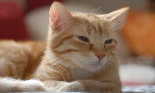 Cuidados y salud del gato brasileño de pelo corto