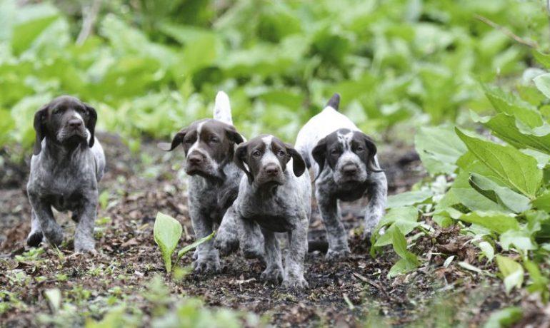 Curiosidades sobre el perro braco alemán