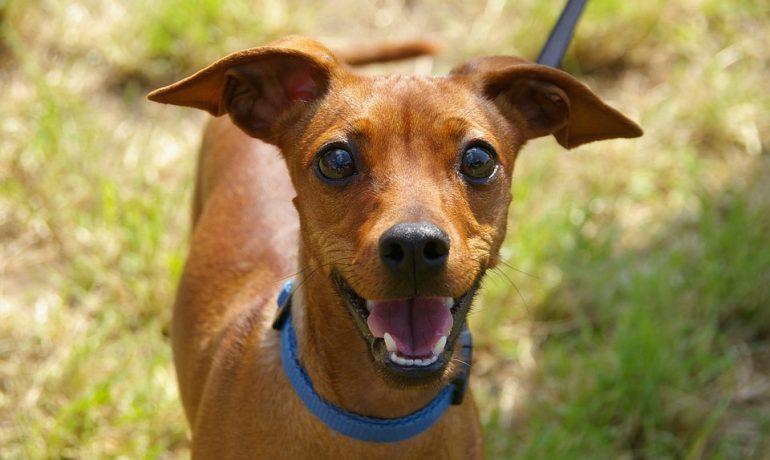 Dermatitis seborreica en perros