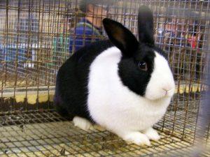 Descubre la particular raza de conejo dutch