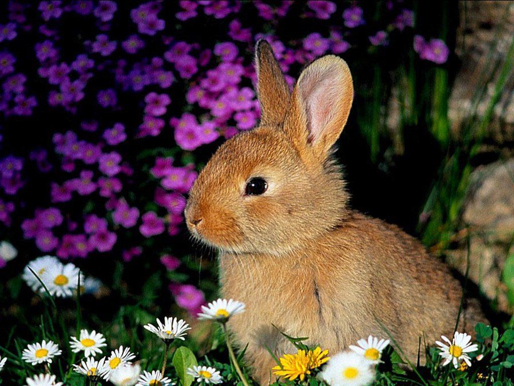 La alimentación de los conejos adultos