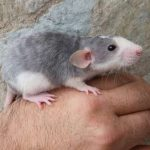 Las características y cuidados de la rata rex