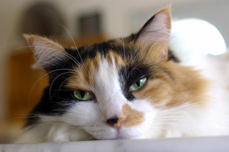 Los hongos en gatos