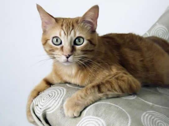 Origen de la raza de gato brasileño de pelo corto