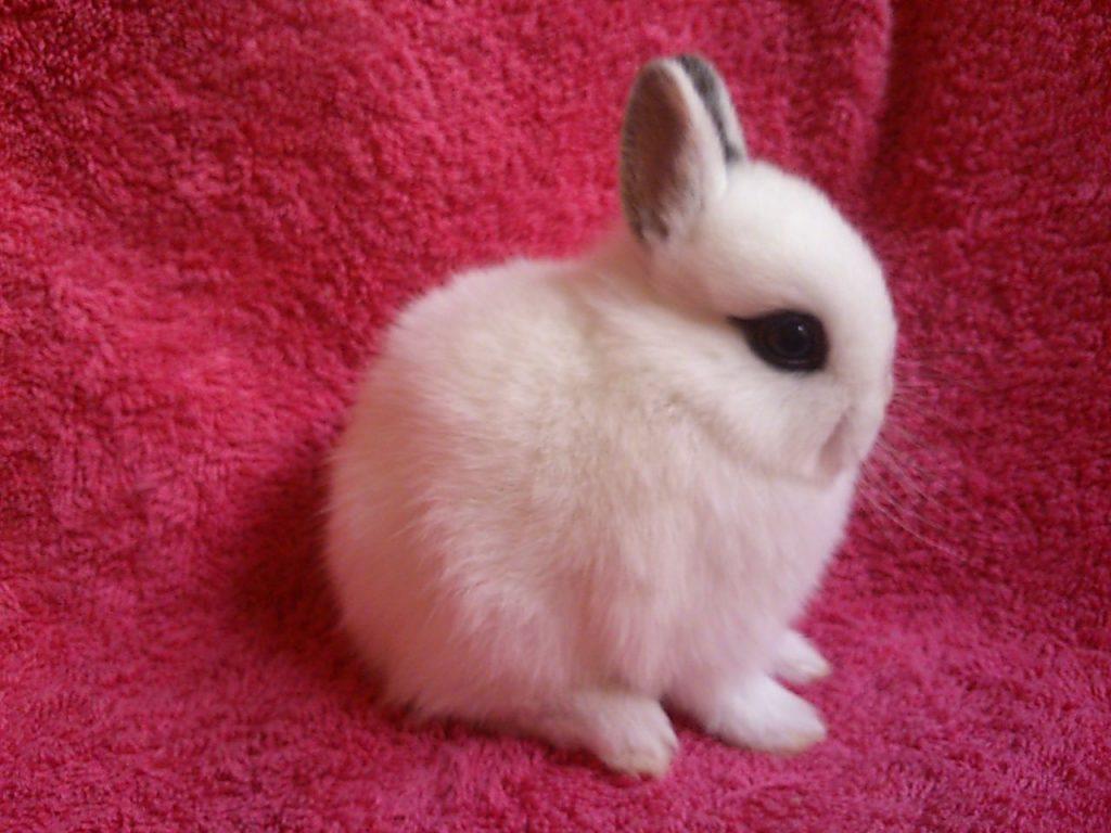 Origen del conejo hotot