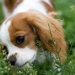 Picadura de la mosca del establo en perros