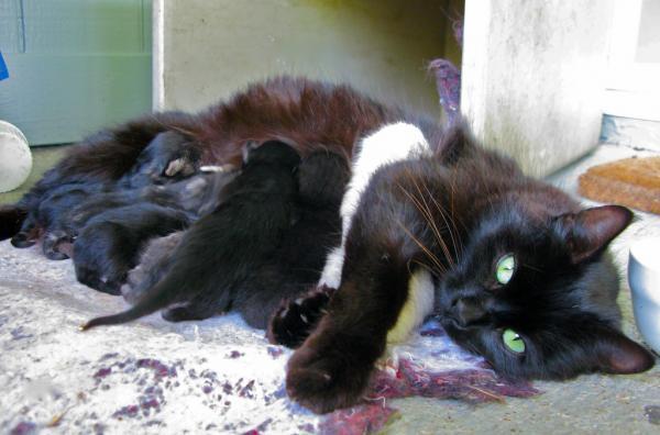 Posibles problemas durante el parto de la gata