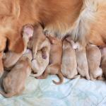 Qué comen los cachorros. Guía de alimentación de cachorros